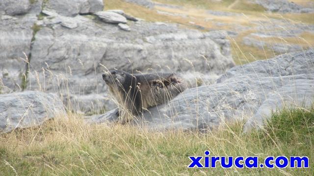 Marmotas cerca del Cuello de Góriz