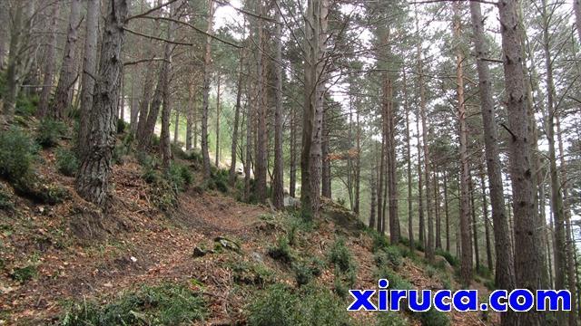 Bosques perennifolios subiendo a la Collada Grossa
