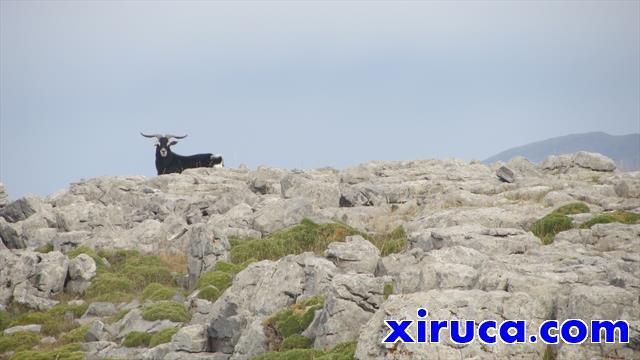 Cabra cerca de la cima de los Sestrales