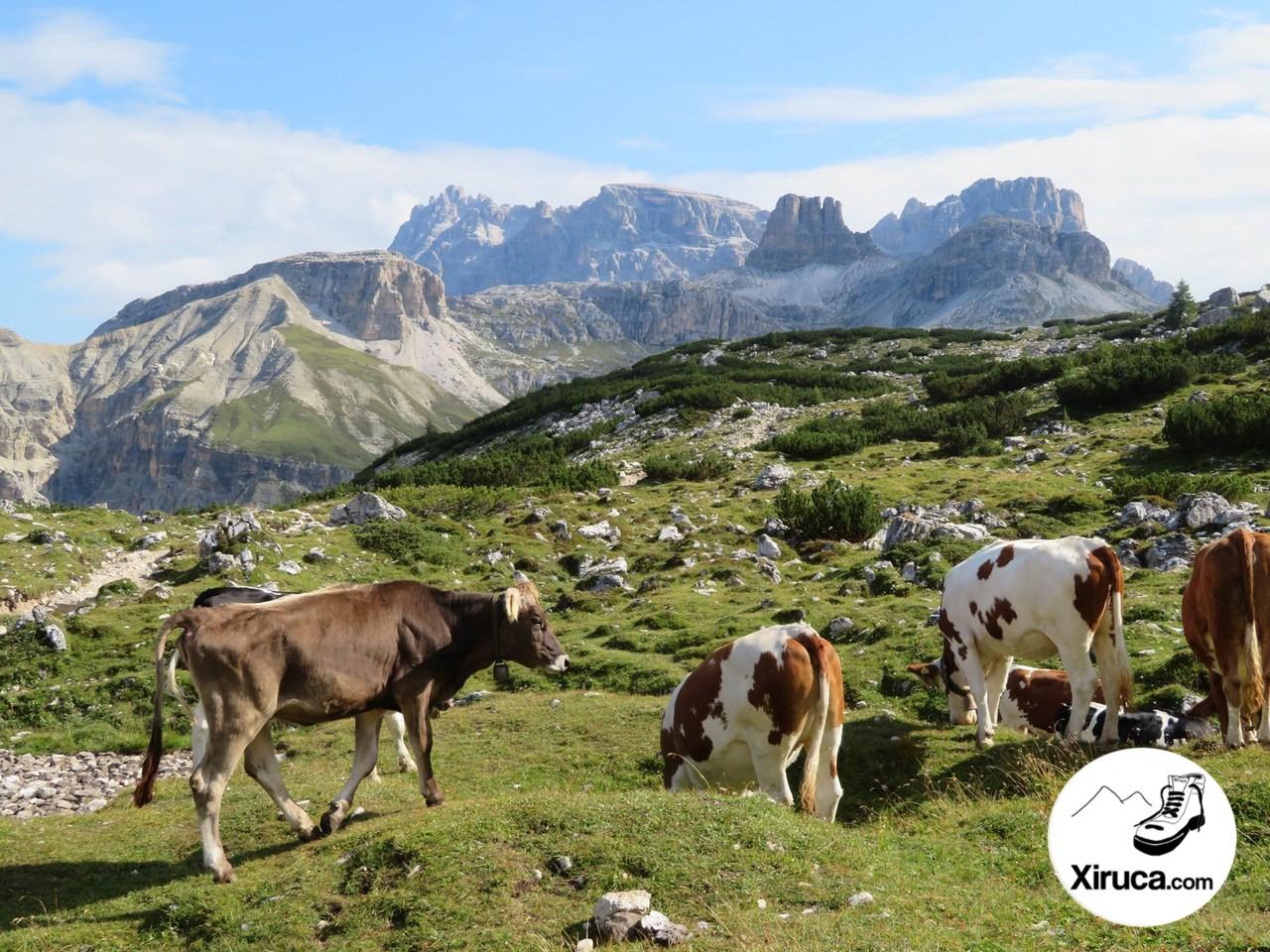 Vacas en Langalm