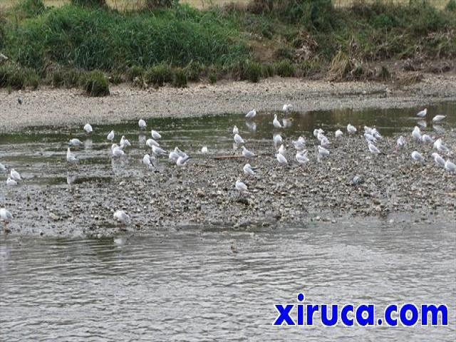 Aves en el Rio Besòs